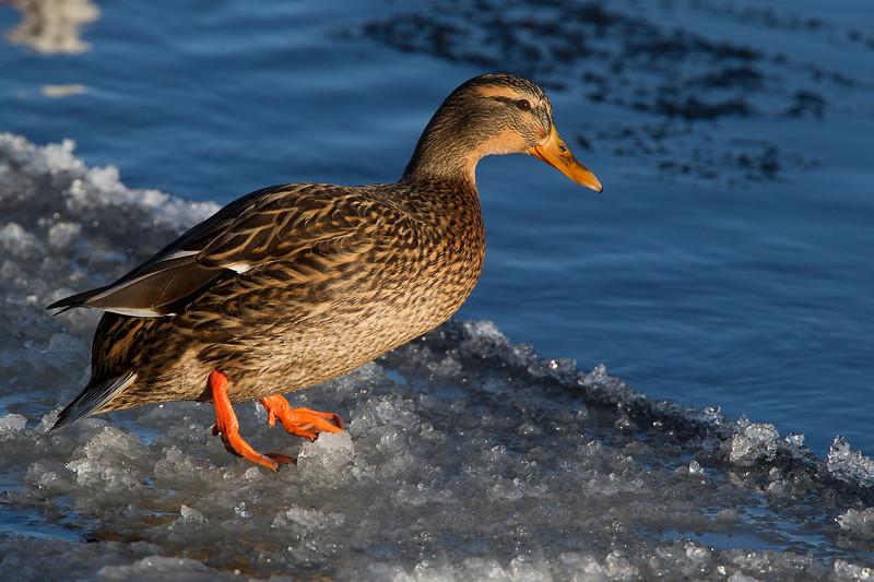 Female Mallard Duck on Ice.