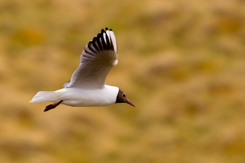 Black Headed Gull in Flight. John Chapman.