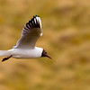 Black Headed Gull in Flight. John Chapman.