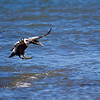 Juv. Male Eider Duck.