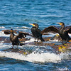 Shags enjoying the Water.