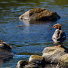 Female Goosander with Chicks.