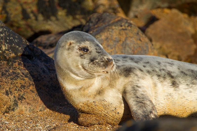 Grey Seal. Taken Yesterday.