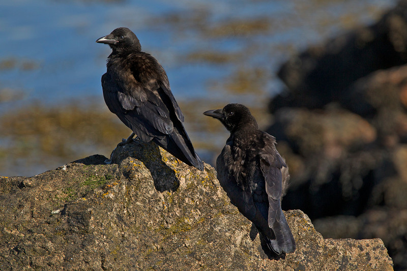 Two Carrion Crows.