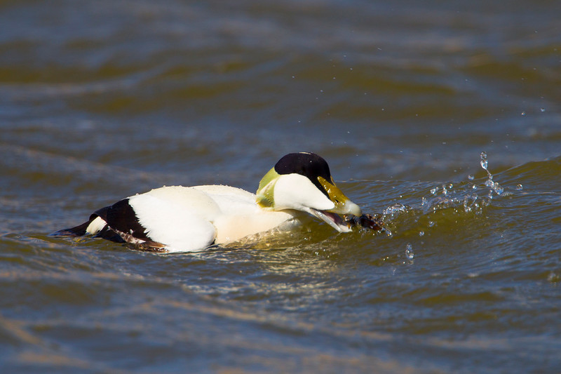 Male Eider Duck with Food.