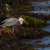 Heron with a Welk or Buckie