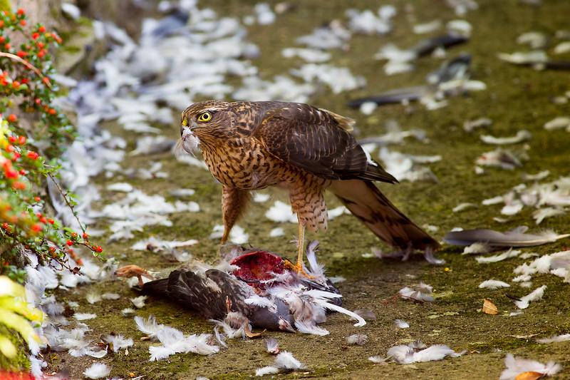 Female Sparrowhawk on Kill.