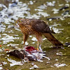 Female Sparrowhawk on Kill.