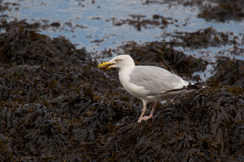 Herring Gull with a Crab !!!