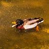 Male Mallard Duck. Look for the Eye !!!