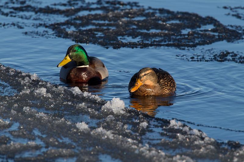 Male and Female Mallard Ducks.