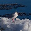Male Black Headed Gull in Winter Plumage.