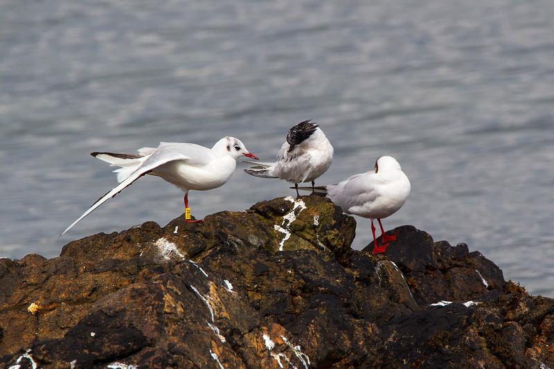 2 Black Headed Gulls and 1 Sandwich Tern.