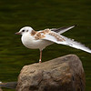Juv. Black Headed Gull Stretching.
