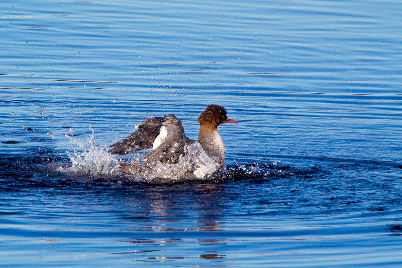 Goosander taking off.