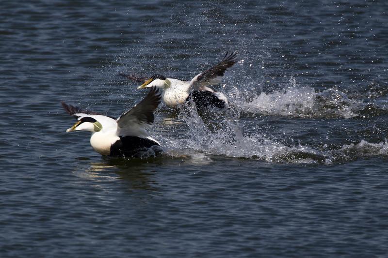Male Eider Ducks.