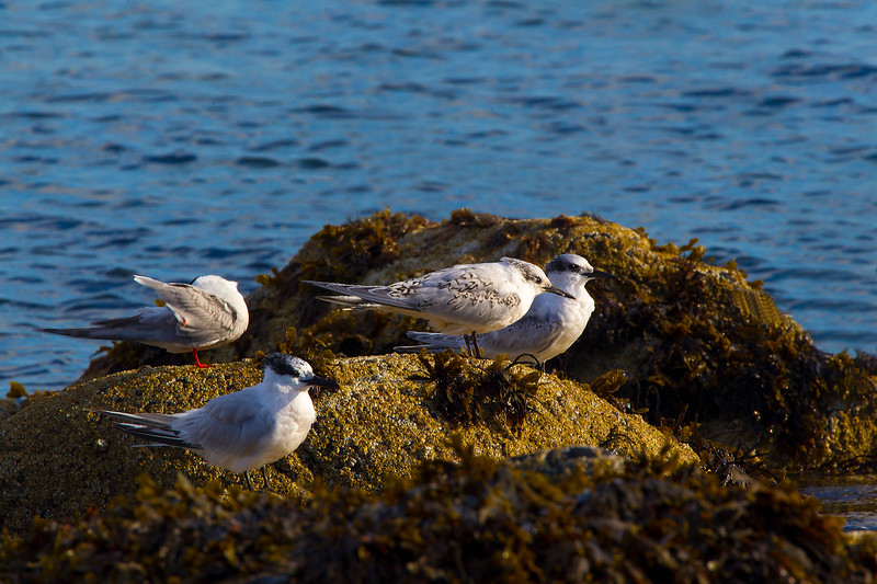 1 Common Tern 3 sandwich Terns.