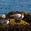 1 Common Tern 3 sandwich Terns.