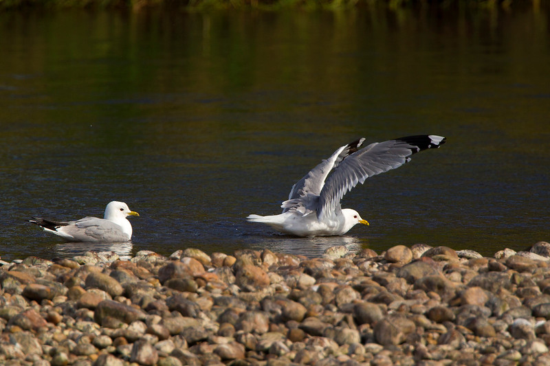 Common Gulls.