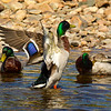 Male Mallard Ducks.