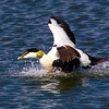 Male Eider Duck in take off