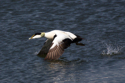 Male Eider Duck on take off.