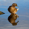 Female Mallard Duck.