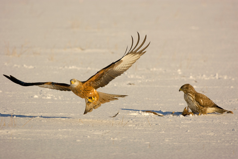 Red Kite and Buzzard on Prey.