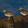 Turnstones in Winter Plumage.
