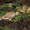 Curlew with Crab.