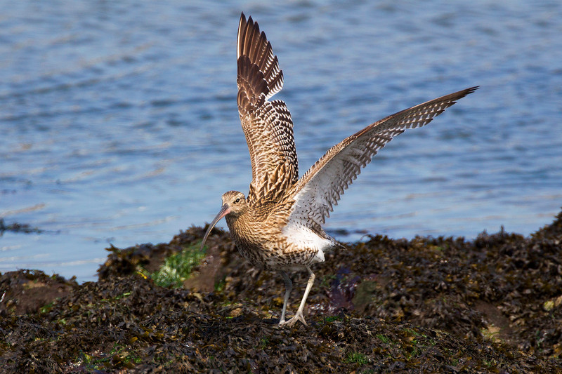 Curlew.