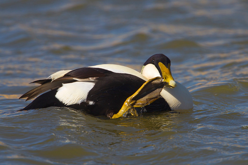 Male Eider Duck. Hi Have a nice day.!!!