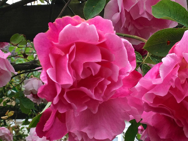 Fragrant Pink Roses