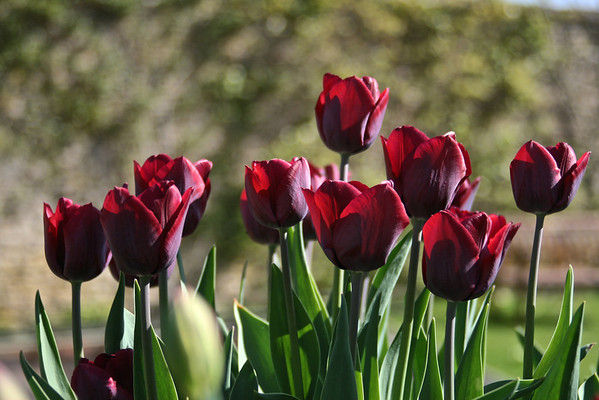 Crimson Tulips in Full Bloom