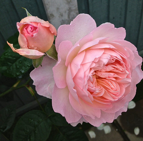 A Beautiful Fragrant Rose
