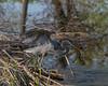 Great Blue Heron Water Stream