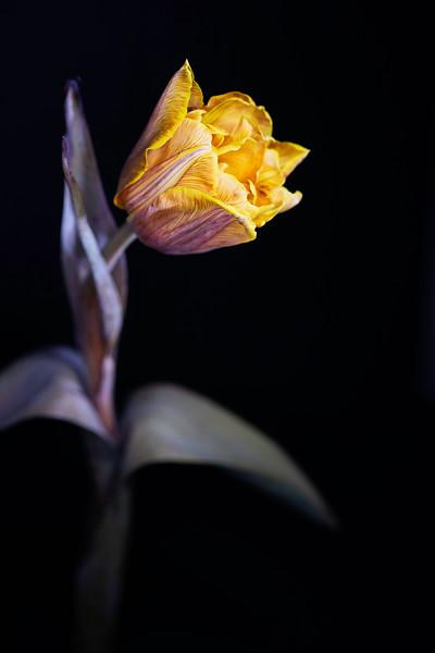 Painted Tulip 01