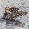 Cormorant on the Move
