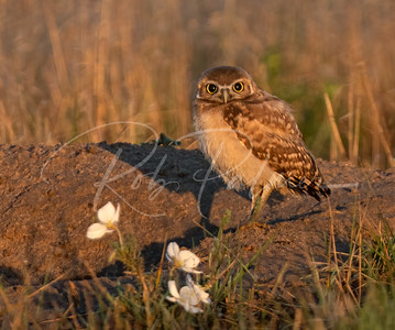 Young Burrowing Owl and flowers