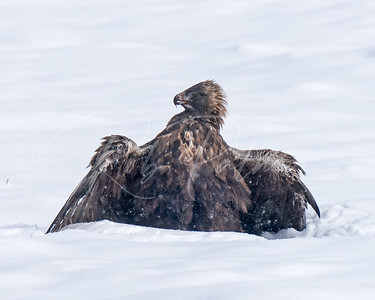 Golden Eagle protecting its catch