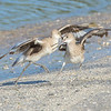 Willet Lovers