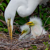 A Great White Egret with her Chicks