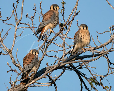 Three young male American Kestrels