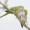 Two Loving Monk Parakeets