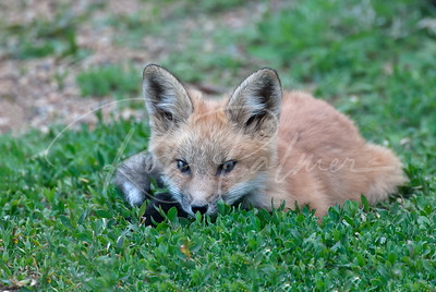 Red Fox kit in the grass