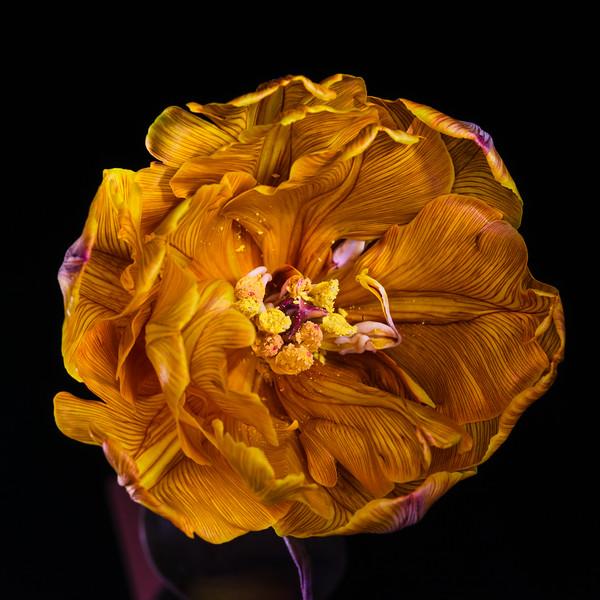 Painted Tulip Bloom