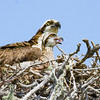 Osprey Mom with Chick