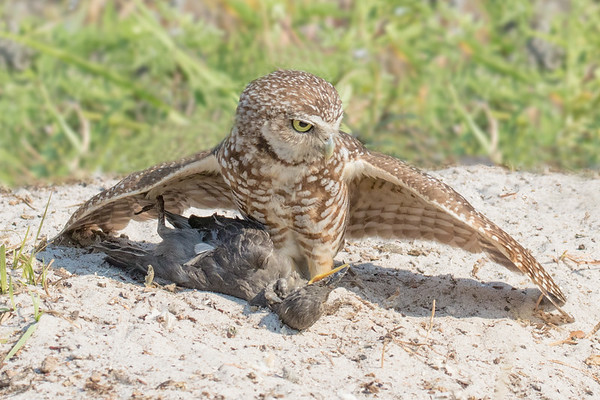 Burrowing Owl with a Prize Catch