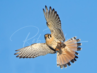 Male kestrel coming in with a mouse