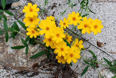 Mountain Marigold